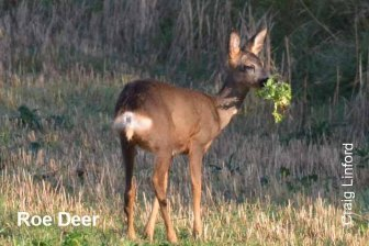 roe deer copy