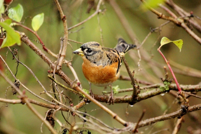 Brambling by John Barber