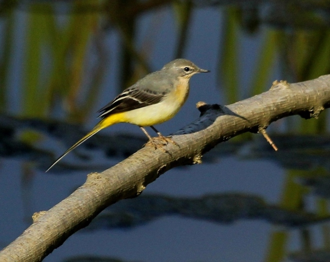 Grey Wagtail by John Barber