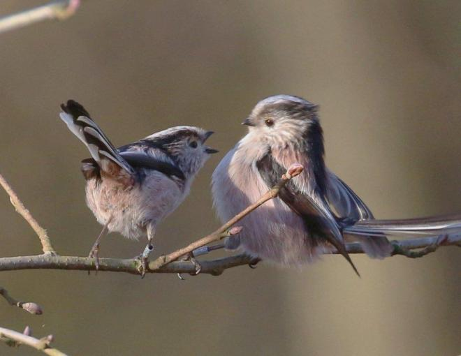 Long-Tailed Tits Harry Marcroft 6 Feb 2015