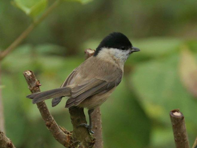 Marsh Tit Harry Marcroft 4 Nov 2015