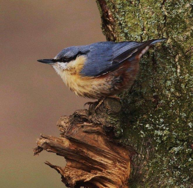 Nuthatch Harry Marcroft 10 February 2015
