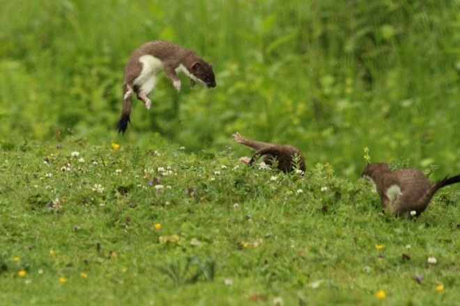Stoat family by John Barber