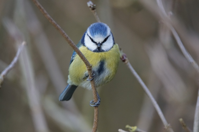 Blue tit J Marshall Feb