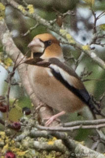 Hawfinch 1 Val Normington